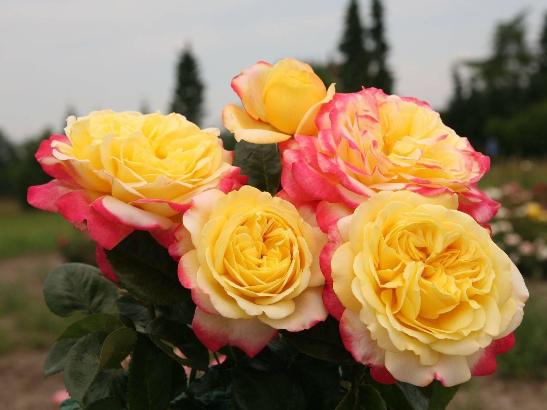 Popis odrůd německé růže Cordes: nejlepší odrůdy odolné vůči zimě